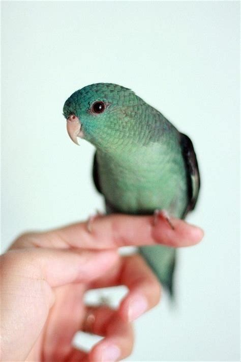 lineolated parakeet lineolated parakeet birds of a feather pinterest