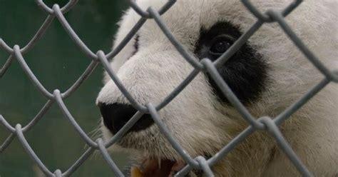 san diego zoo panda  incurable heart problem cbs news