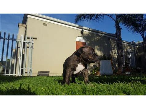 american staffordshire terrier amstaffs females