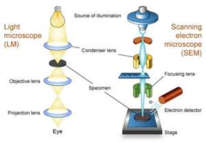 Compound Light Microscope Diagram by Light And Electron Microscope Homework Help Assignment