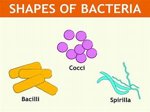 What are the various shapes of bacteria? - Quora