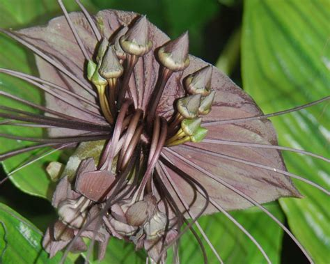 bat flower  view  black bat flower tacca