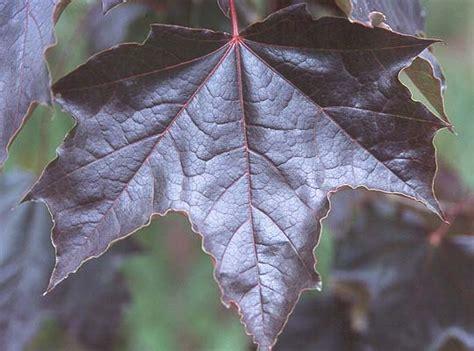 purple leaf trees identification acer platanoides crimson king landscape plants oregon state