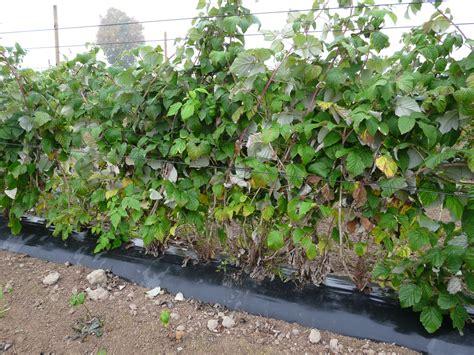 planter framboisier en pot 28 images le du balcon pot balconparisien quand planter