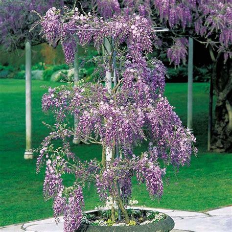pianta di glicine in vaso glicine in vaso piante da terrazzo come coltivare il