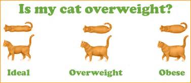 i my cat the overweight cat the shocking uk cat breeders