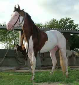 kathiawari horse info origin history pictures