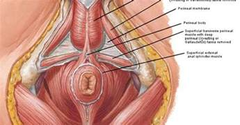 male pelvic floor get to know your pelvic anatomy