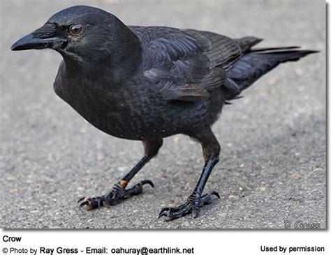species  crows beauty  birds
