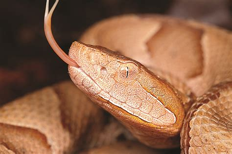 quick guide snakes cumberlands independent herald