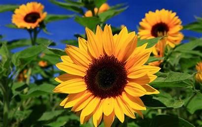 Sunflowers Laptop Untuk Gambar Foto Cantik Bunga