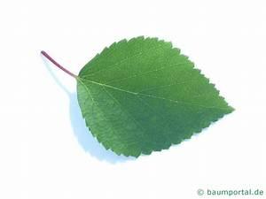 Ahorn Frucht Name : blau birke betula caerulea ~ Frokenaadalensverden.com Haus und Dekorationen