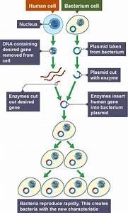 Bbc Bitesize - Gcse Biology