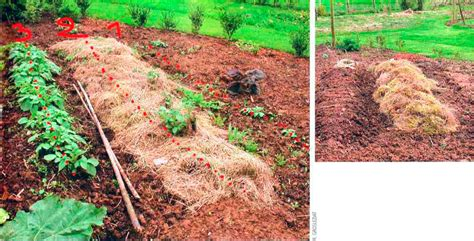 mulching potatoes with straw permaculture magazine