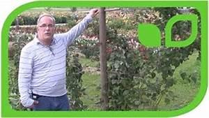 Wann Himbeeren Pflanzen : herbsthimbeere primeberry autumn first ~ Lizthompson.info Haus und Dekorationen