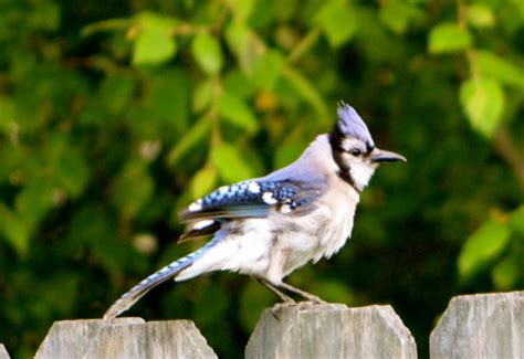 attracting blue jays to your yard nature photo friday