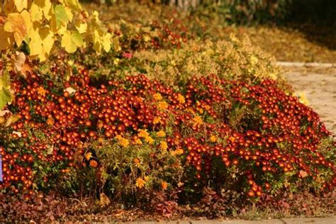fall blooming shrubs bright fall garden design and natural yard lndscaping ideas