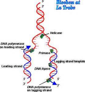 Simple DNA Replication Diagram