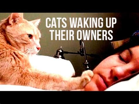 funny cats waking  owners compilation funnycat