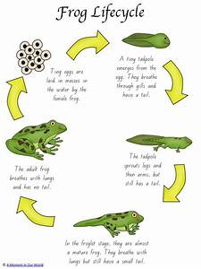 Frog Life Cycle Activity Pack | Frog life cycles, Youngest ...