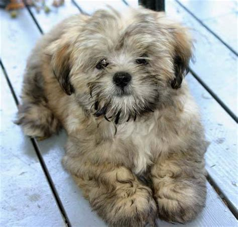Lhasa Apso Mix Shedding Hypoallergenic Crossbreed Dogs Breeds Picture