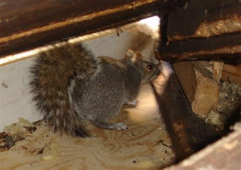 squirrel removal faq frequently asked questions