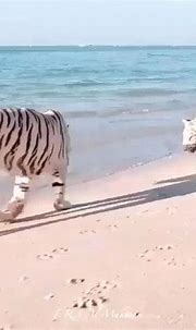 White Tigers Enjoying The Beach   Animals, White tiger ...
