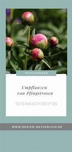 Pflege Von Pfingstrosen : ein besuch in der pfingstroseng rtnerei von steffen ~ A.2002-acura-tl-radio.info Haus und Dekorationen
