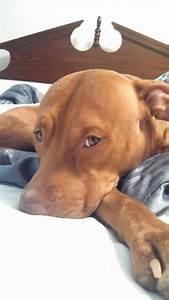 Ella - red nose #pitbull | Cute animals | Pinterest ...