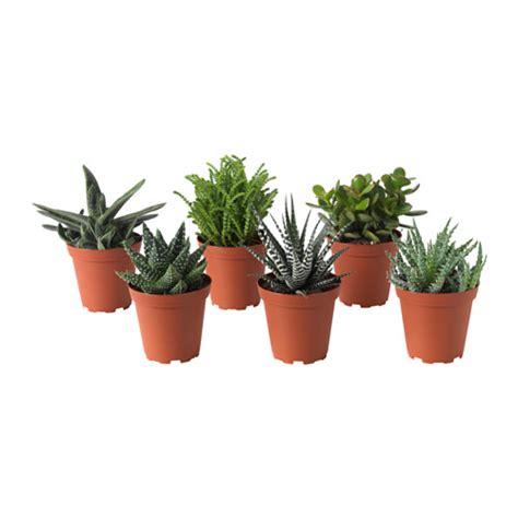 succulent plante en pot ikea