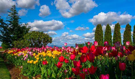 1920x1080 beautiful tulips garden beautiful sky over tulip garden full hd wallpaper and background image 2048x1205 id 679746
