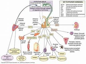 Chapter 9 The Endocrine System Anatomy And Physiology