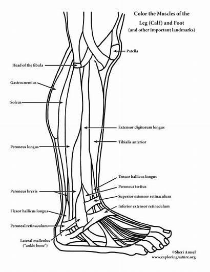 Muscles Coloring Leg Foot Calf Anatomy Pdf