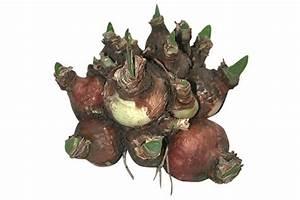 Welche Erde Für Hortensien : blumenzwiebeln berwintern so geht s richtig blumenzwiebeln ratgeber garten schl ter ~ Eleganceandgraceweddings.com Haus und Dekorationen