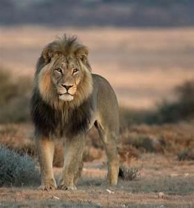 black mane lion   Tumblr