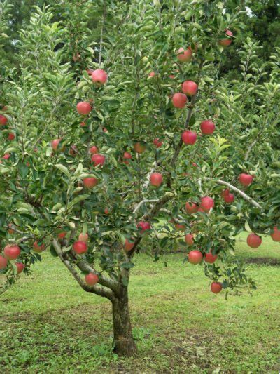 Zone 5 Fruit Trees  Guide To Growing Fruit Trees In Zone