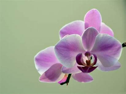 Orchid Wallpapers Flowers Desktop Orchids Flower Hdwallsource