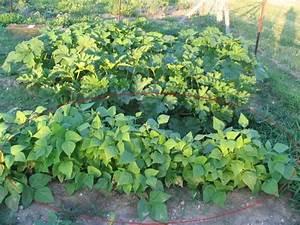 Green Bush Beans | Huertos (Vegetable Gardens) | Pinterest