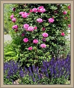 Welche Pflanzen Passen Zu Rosen : wetterbest ndige blumen und pflanzen ratgeber ~ Lizthompson.info Haus und Dekorationen