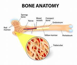 What Is Bone Marrow