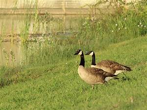 Minnesota Canada Goose Hunting Guides Pa