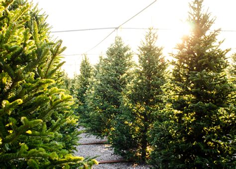 picking and caring for your christmas tree this year