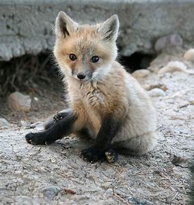 Fox images Fox Kit wallpaper and background photos (24577293)
