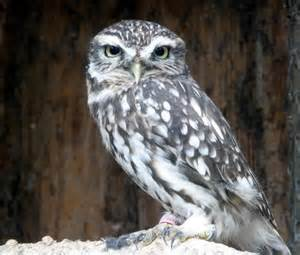 Little Owl at Small Breeds Farm and Owl... © Christine ...
