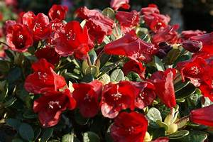 Rhododendron Eingerollte Blätter : rhododendron repens carmen kleinste bl tter und tiefrote bl te ~ Markanthonyermac.com Haus und Dekorationen