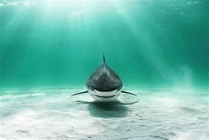 Shark Wallpapers Desktop Widescreen Monodomo 4k Baltana