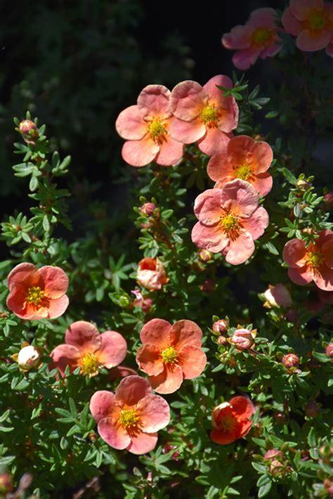Orangeade Potentilla (Potentilla fruticosa 'Orangeade') in ...