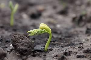 Wann Keimt Rasen : bohnensaat im februar das gartenmagazin ~ Lizthompson.info Haus und Dekorationen