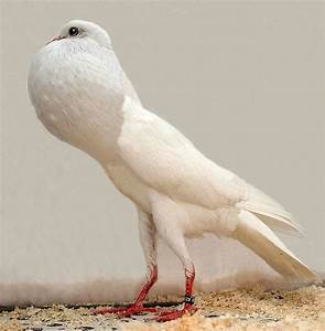 Brunner Pouter Pigeon Pictures ~ ENCYCLOPEDIA OF PIGEON BREEDS