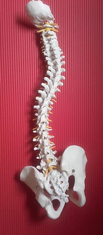 Paravertebrální svaly
